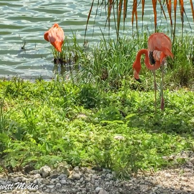 Flamingos at the Lake Barcelo golf course
