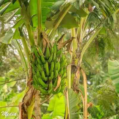 Banana tree near the coffee plantation