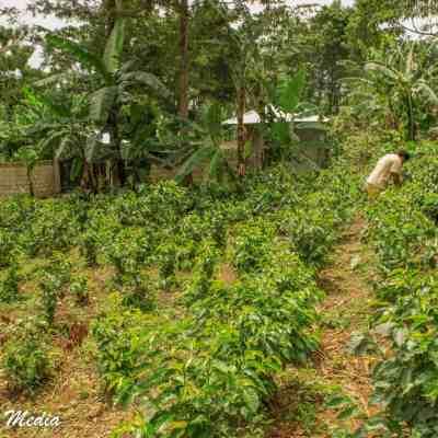 The coffee fields