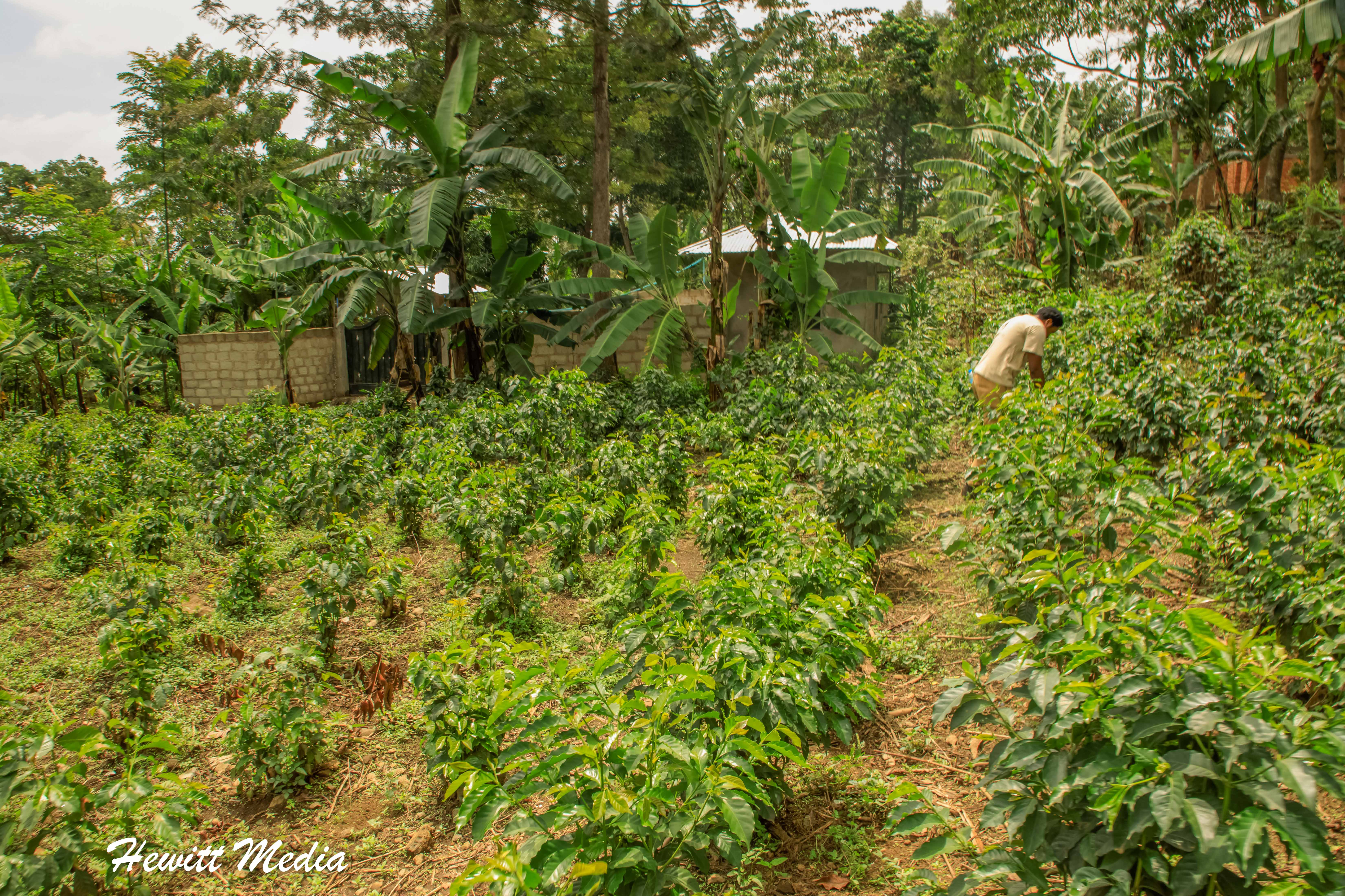 The coffee fields