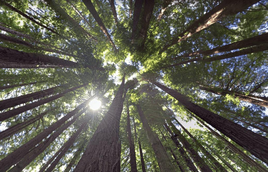 Californian Redwoods.png