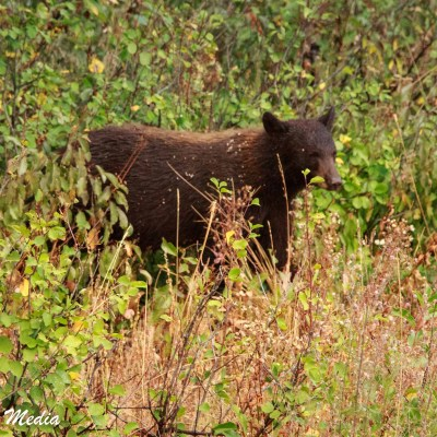 Black Bear in Grand Teton National Park