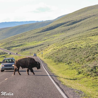 Bison blocks the road in Yellowstone
