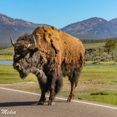Bison in Yellowstone National Park