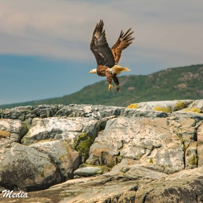 Bald Eagle in Acadia National Park