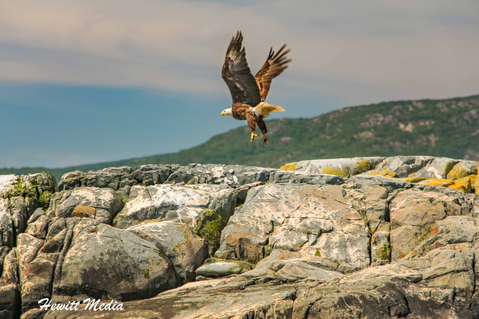 Bald Eagle in Acadia National Park