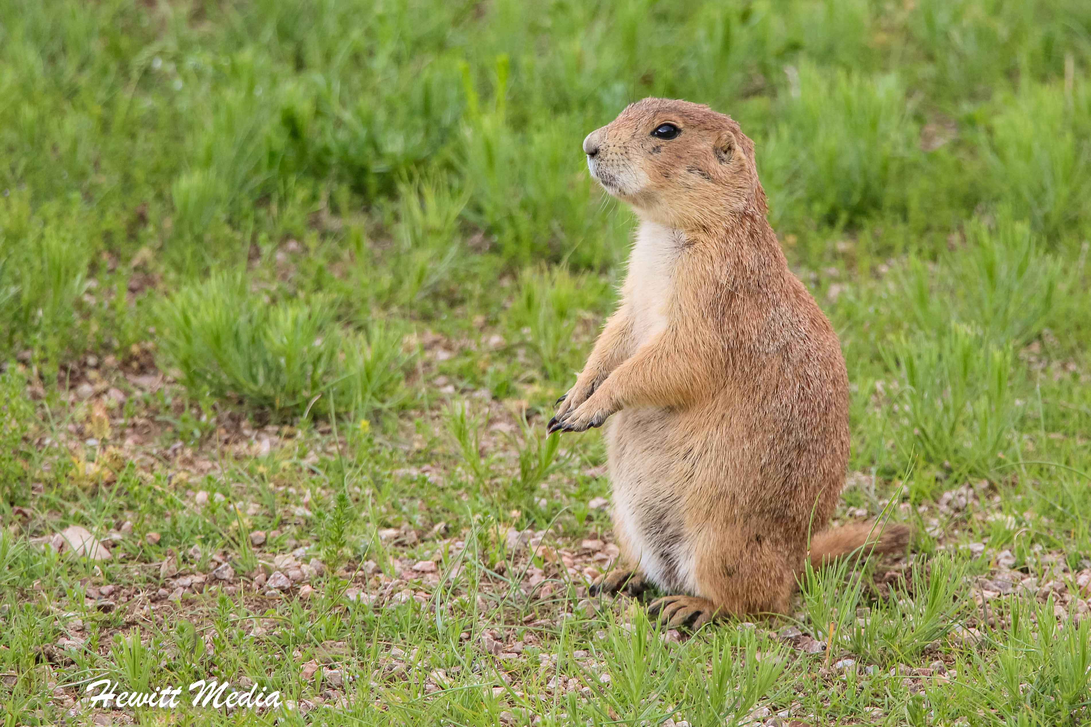 Prairie Dog at Devil's Tower National Monument