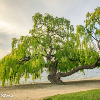 Beautiful tree near the beach at Lake Wanaka
