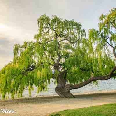 Beautiful tree near the beach at Lake Wanaka