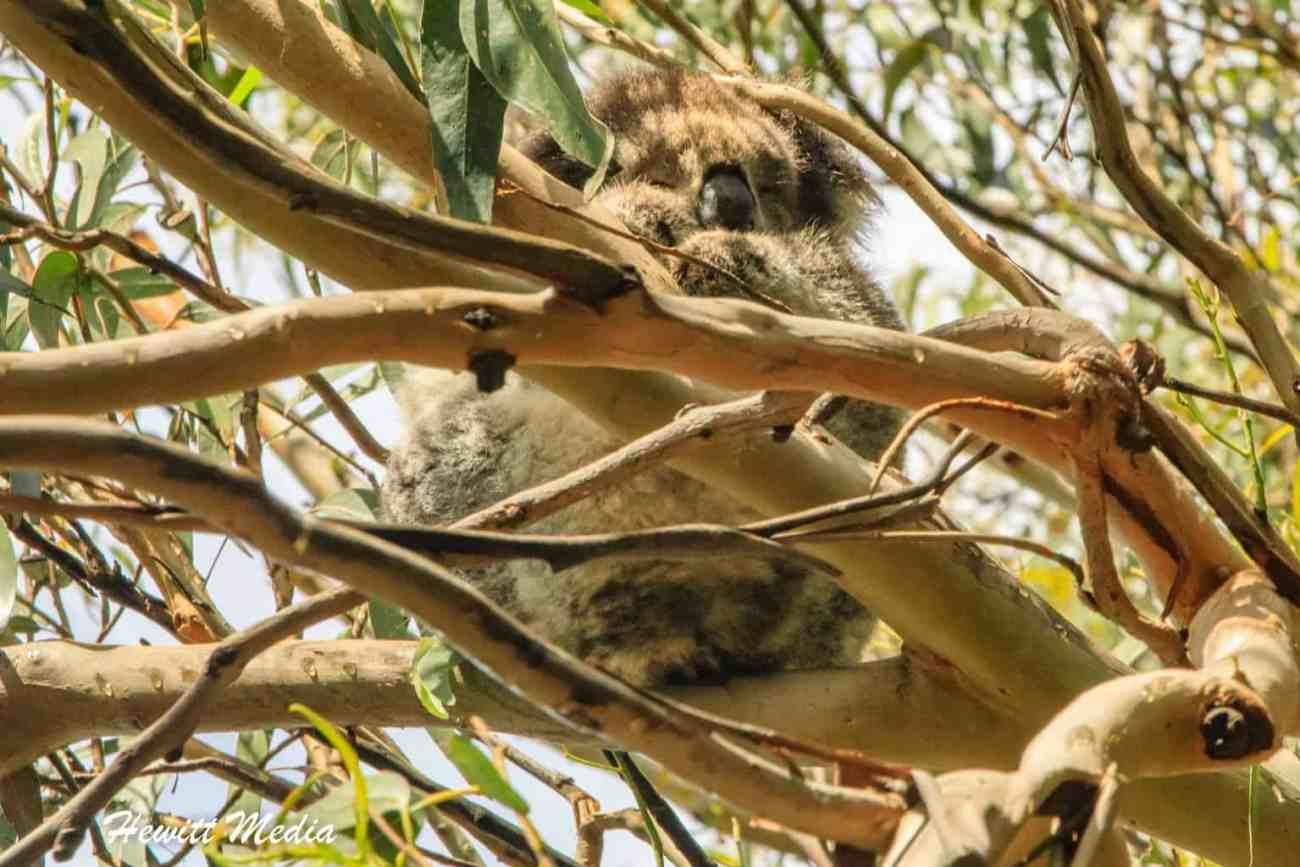 Wild Koala-2653