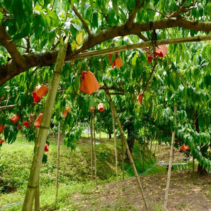 Kibi plain Bitchu peach tree