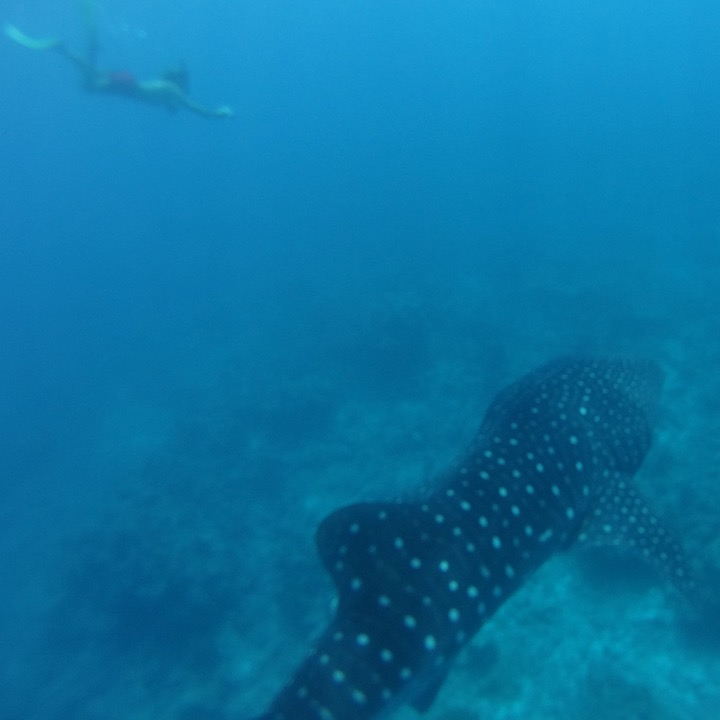 travel with children kids maldives lux south ari atoll snorkelling whale shark