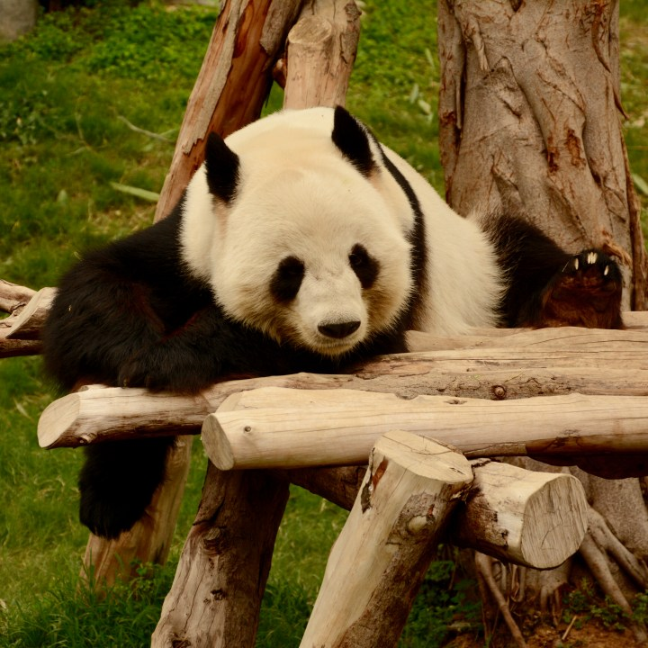 hong kong ocean park with kids children china giant panda laziness