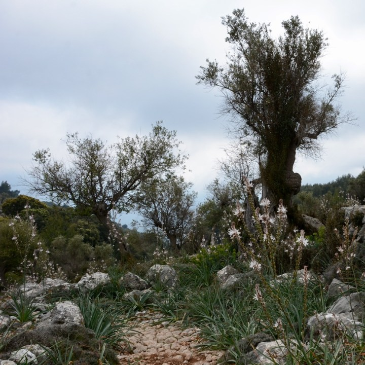travel with kids children soller mallorca spain mirador ses barques olive tree