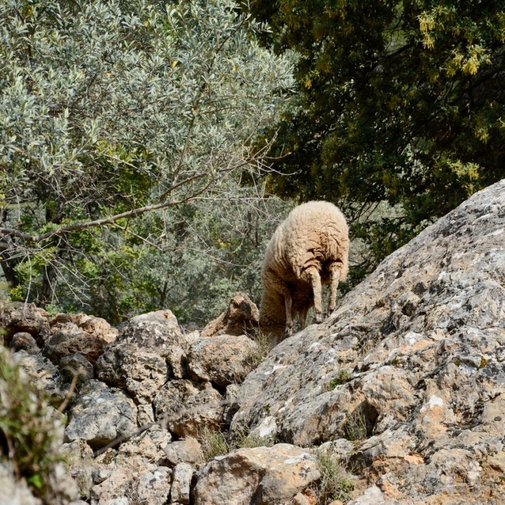 travel with kids children soller mallorca spain mirador ses barques sheep