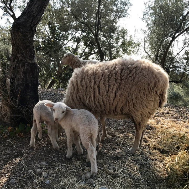 travel with kids children soller mallorca spain hiking cala tuent sheep lamb