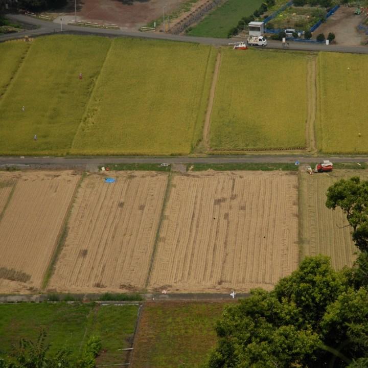 heda japan with kids izu peninsular rice harvest