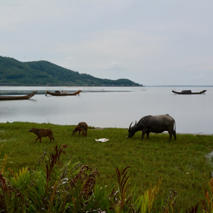 vietnam travel with kids da bac village water buffalos