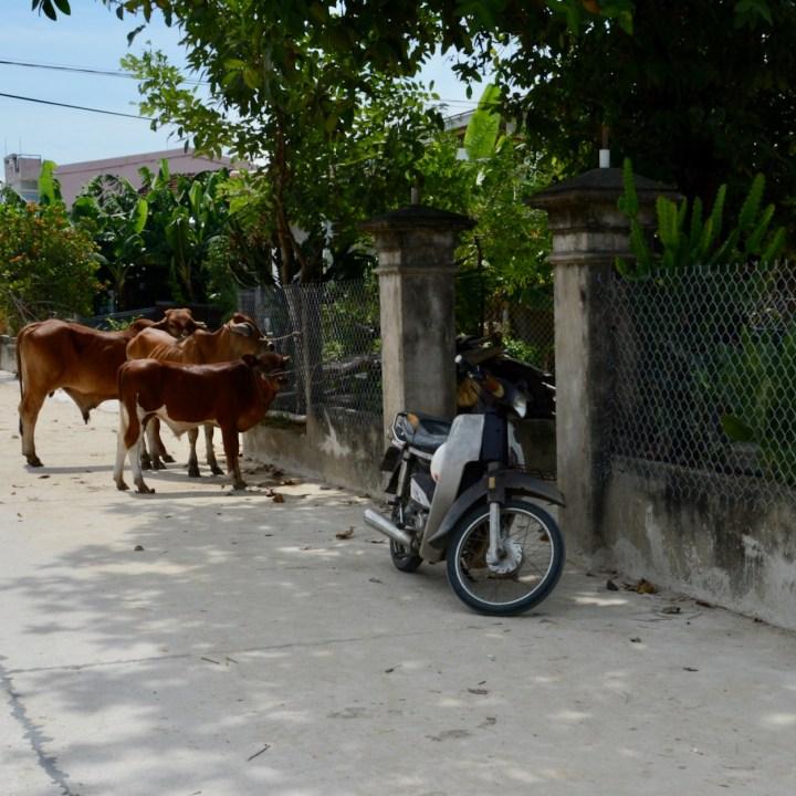 vietnam travel with kids hoi an rural bike ride cows