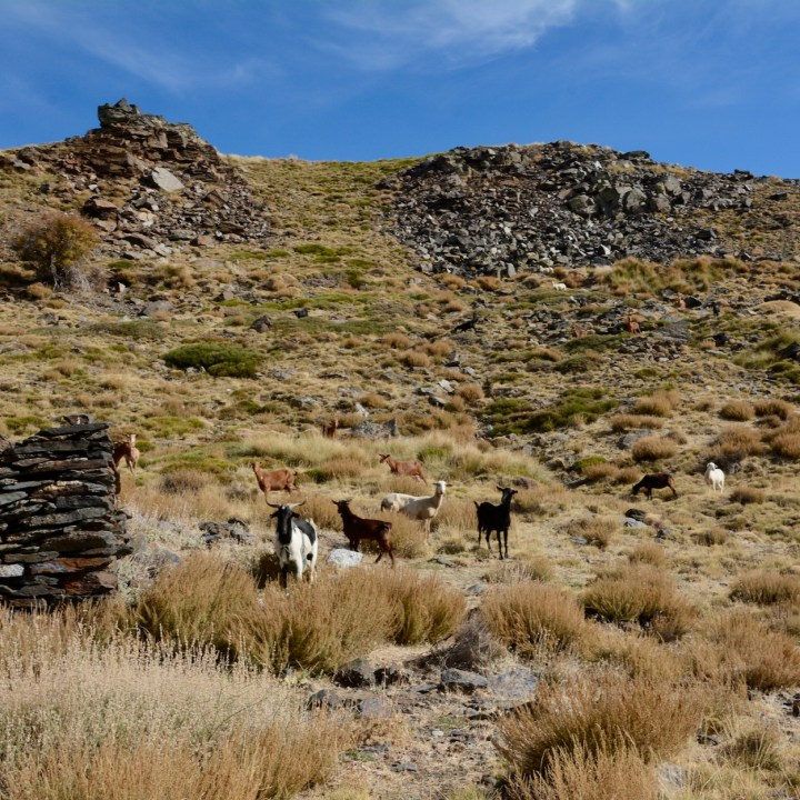 hiking with kids las aplujarras poqueira gorge goats