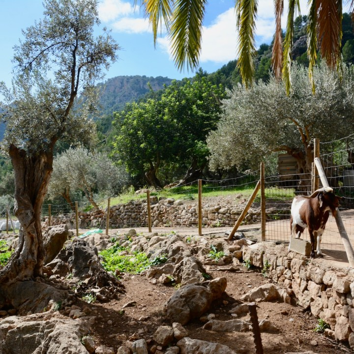 Mallorca with kids gardens alfabia goat