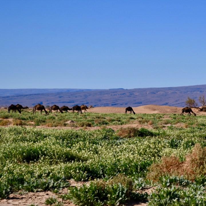 sahara desert erg chigaga with kids dromedaries