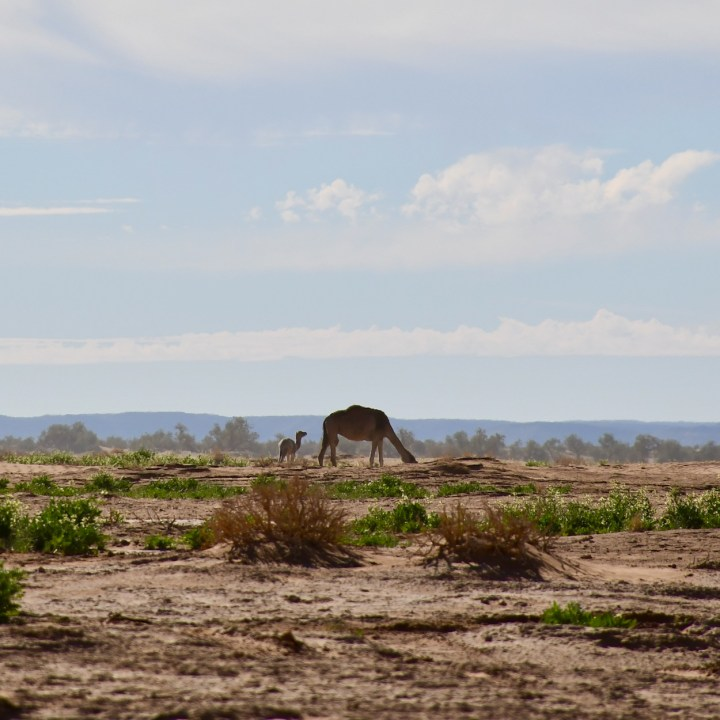 La Kahena luxury camp Erg Chigaga Sahara dromdary baby