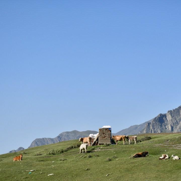 Gergeti church and cows