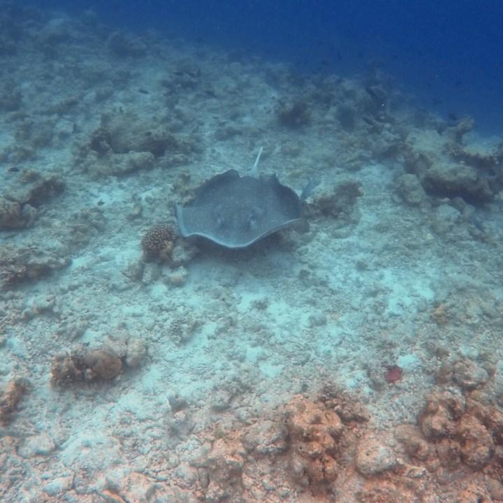 sting ray Maldives snorkel