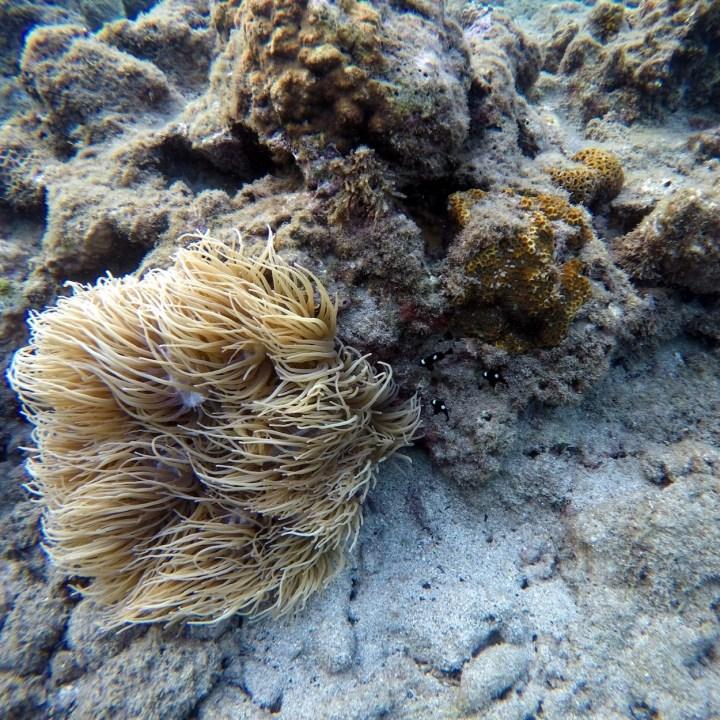Yakushima snorkelling anemone