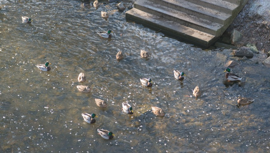 Enten an der Wupper