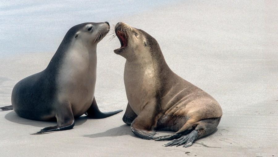 Seehunde in Australien