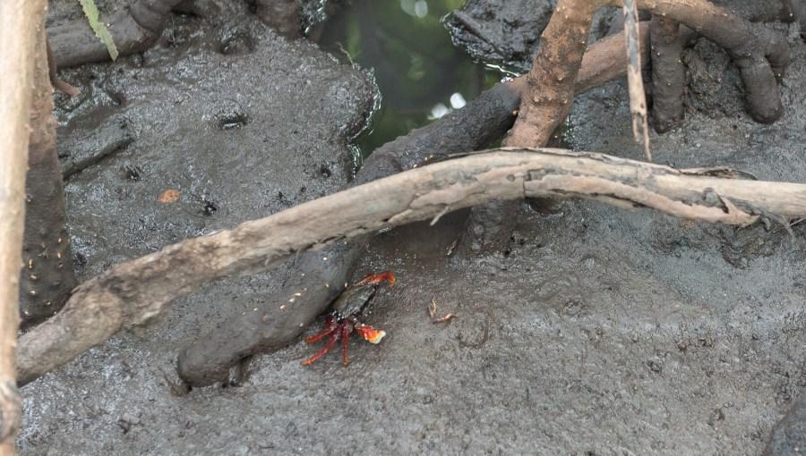 Krebs im Mangrovensumpf