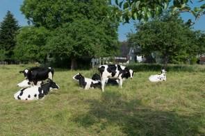Kühe bei Hülstrunk