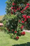 Neuseeländischer Weihnachtsbaum