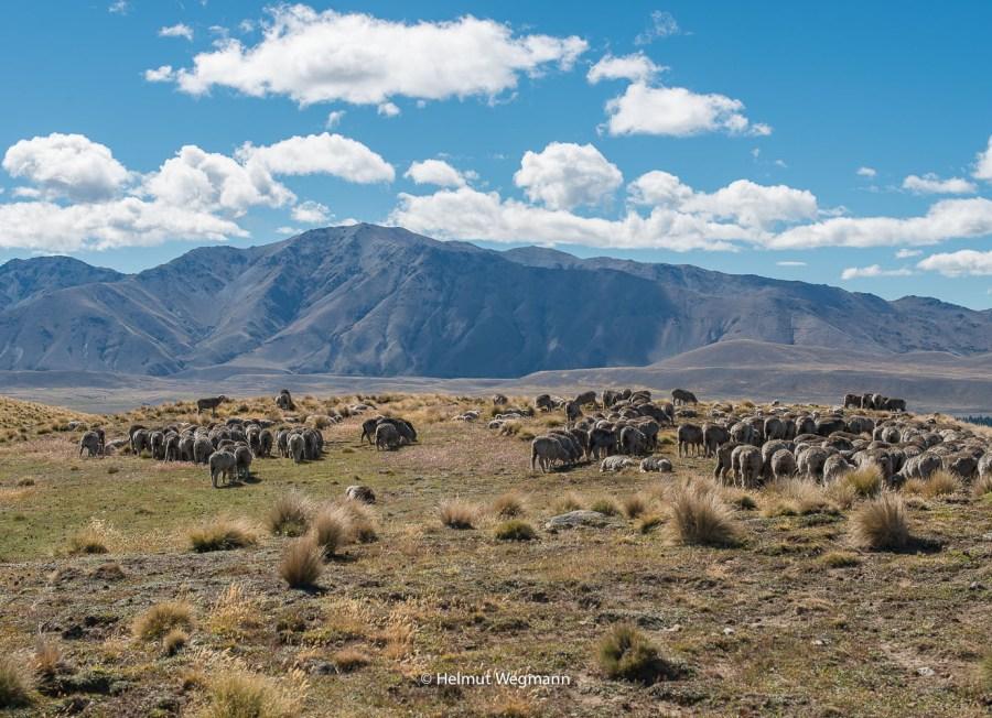 Schafe oberhalb des Lake Pukaki