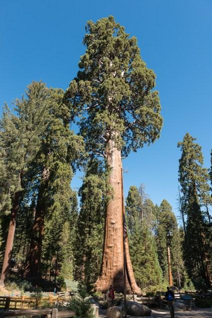 Sequoia Baum