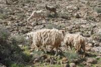 Schafe finden genug zum Fressen