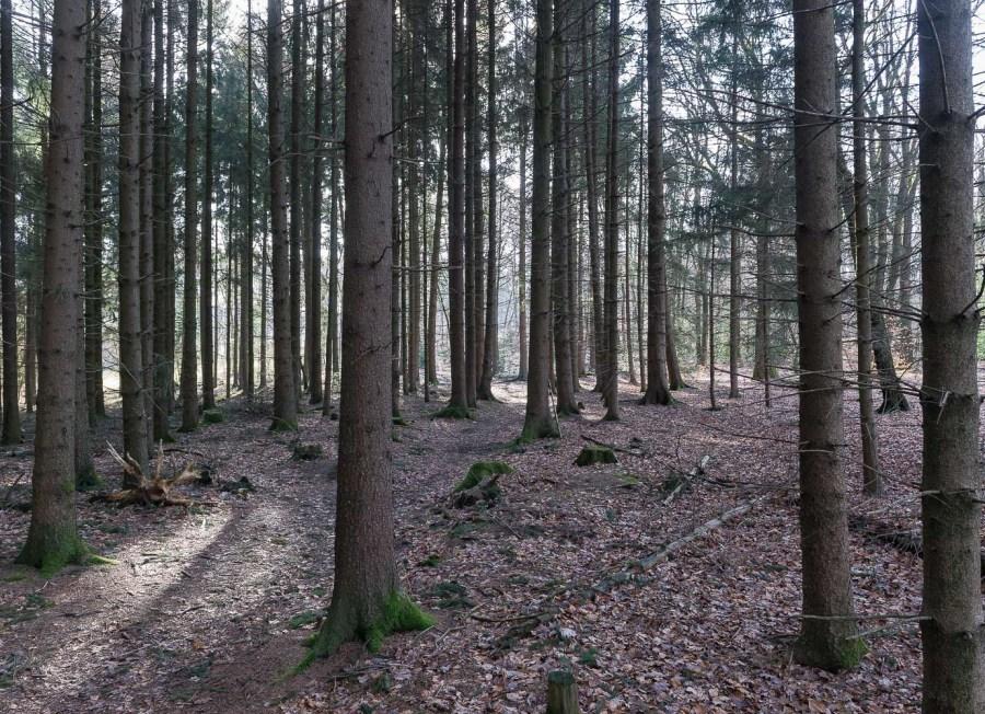 Fichtenwald im Morgenlicht