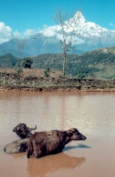 Büffel mit Macchapucchare