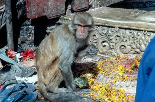 Affe an der Stupa von Swayambhunath