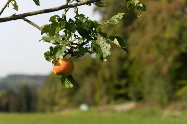Apfel vor der Ernte