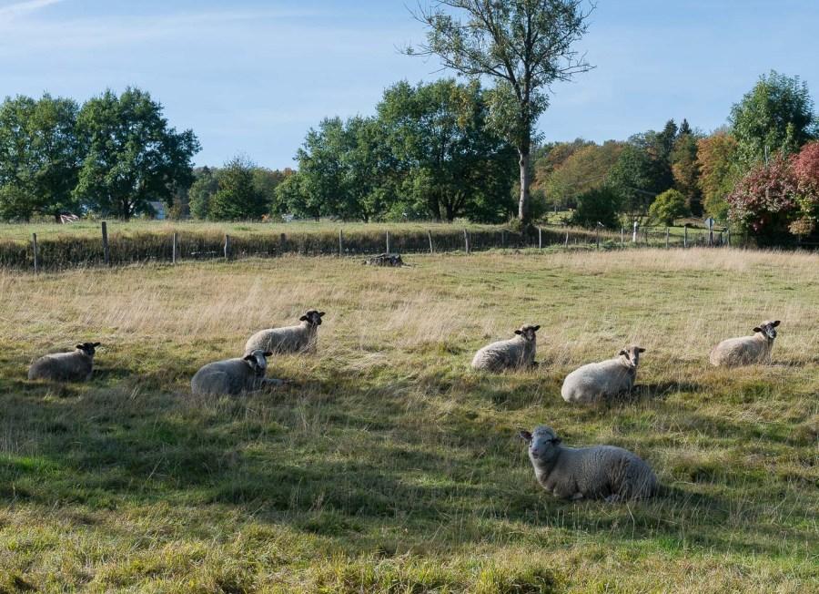 Schafe bei Malzhagen