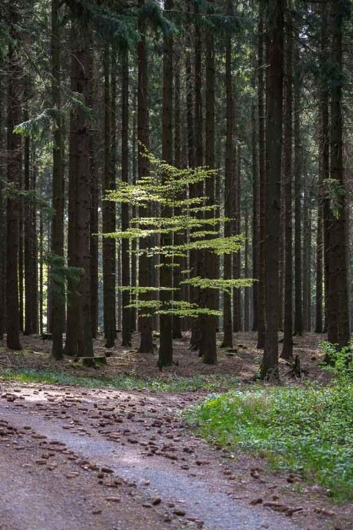 Buche im finstren Wald