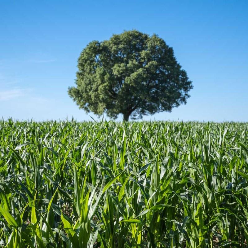 Baum im Maisfeld
