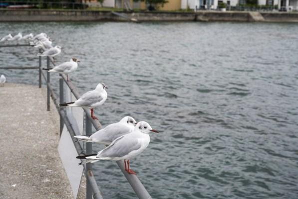 Möven in Hagnau am Hafen