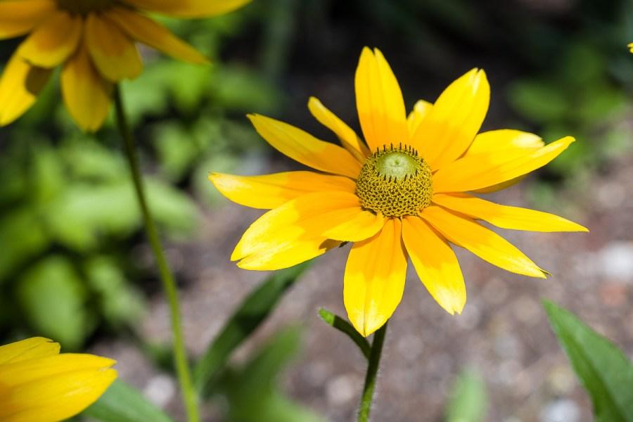 Gelbe Anemonenart