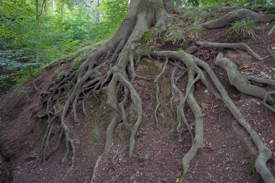 Wurzelwerk am Waldweg