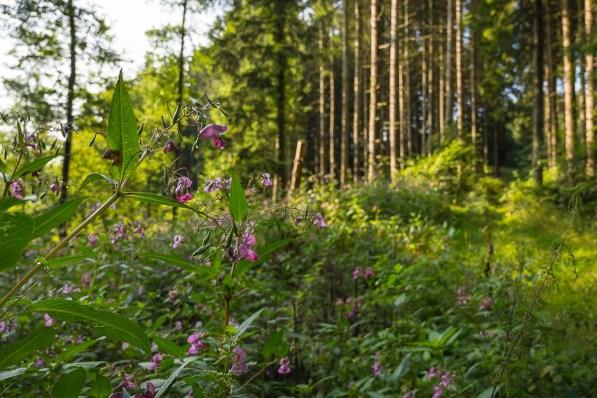 Nasses Springkraut am Waldweg