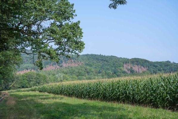 Maisfeld und Baumsterben im Hintergrund